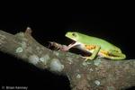Southern Orange-Legged Leaf Frog / Southern Orange-Legged Monkey Frog (Phyllomedusa hypocondrialis azurea / Syn: Phyllomedusa azurea) using tongue to catch Cricket.  Paraguay, Brazil, Argentina (South America).