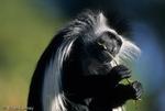 Angolan Black-and-White Colobus Monkey (Colobus angolensis angolensis) eating vegetation.  Angola, Zaire, Rwanda, Burundi, Zambia, Kenya, & Tanzania (Africa).  CITES II.