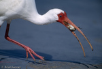 White Ibis / American White Ibis (Eudocimus albus) in breeding colors eating crab, Florida.  The White Ibis hybridizes with the Scarlet Ibis (E. ruber) and some scientists consider them to be conspecific.