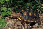 Baby Red-footed Tortoise (Geochelone carbonaria / Syn: Chelonoidis carbonaria) eating vegetation. Central & South America (Panama, Colombia, Venezuela, Brazil, Caribbean Islands, Guyana, Surinam, French Guiana, Bolivia, Paraguay, & Argentina)  CITES II