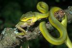 White-Lipped Pit Viper / White-Lipped Tree Viper (Cryptelytrops albolabris / Syn: Trimeresurus albolabris) eating treefrog prey.  Venomous snake with an LD-50 (mg/kg) of venom = 12.75 subcutaneous & 0.37 intravenous. India, Nepal, Burma, Thailand, Cambodia, Laos, China, Vietnam, & Indonesia.