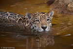 Jaguar (Panthera onca) young cat swimming.  United States (AZ), Mexico, Central America, & South America.  Endangered (USESA), Near Threatened (IUCN), CITES I.