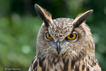 Eurasian Eagle Owl (Bubo bubo hispanus)  Ear Tufts are tufts of feathers, rather than actual ears.  Species range = Europe & Asia.  CITES II.