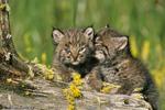 Bobcat / Bay Lynx (Lynx rufus pallescens / Syn: Felis rufus) Kittens, Montana.  Subspecies range = nw United States and sw Canada (British Columbia, Alberta, & Saskatchewan). Species range = s Canada to n Mexico.  CITES II