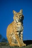 Bobcat / Bay Lynx (Lynx rufus pallescens / Syn: Felis rufus) adult, Montana.  Subspecies range = nw United States and sw Canada (British Columbia, Alberta, & Saskatchewan). Species range = s Canada to n Mexico.  CITES II