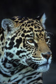Jaguar (Panthera onca) adult, portrait.  United States (AZ), Mexico, Central America, & South America.  Endangered (USESA), Near Threatened (IUCN), CITES I.