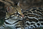 Ocelot (Leopardus pardalis / Formerly: Felis pardalis) The bright white eye rings help reflect extra light into the eyes of these primarily nocturnal cats in low light.  United States (TX), Mexico, Central America, & South America.  Endangered Species (USESA), CITES I.