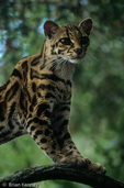 Margay / Tree Ocelot (Leopardus wiedii / Formerly: Felis wiedi) Mexico to Argentina. Endangered Species (USESA), Near Threatened (IUCN), CITES I.