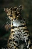 Margay / Tree Ocelot (Leopardus wiedii / Formerly: Felis wiedi) Mexico to Argentina. Endangered Species (USESA), Near Threatened (IUCN), CITES I.