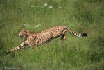 Cheetah (Acinonyx jubatus) running, using its long tail for balance.  Fastest Land Animal in the World, sprinting at 112 to 120 km/h (70 to 75 mph).  Africa & India.  Endangered (USESA), Vulnerable (IUCN), CITES I.