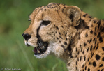 Cheetah (Acinonyx jubatus) adult, portrait. Fastest Land Animal in the World, sprinting at 112 to 120 km/h (70 to 75 mph).  Africa & India.  Endangered (USESA), Vulnerable (IUCN), CITES I.
