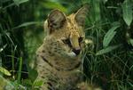 Serval (Leptailurus serval / Formerly: Felis serval) Hidden in tall grasses.  Africa.  CITES II.