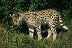 Serval (Leptailurus serval / Formerly: Felis serval) When hunting, the Serval may pause to listen for long periods before pouncing.  Their large ears enable Servals to detect rodents moving in underground burrows.  Africa.  CITES II.