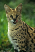 Serval (Leptailurus serval / Formerly: Felis serval) The large ears evolved for hearing small prey, like rodents moving in their underground burrows.  Africa.  CITES II.
