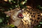 Serval (Leptailurus serval / Formerly: Felis serval) Snarling, Africa.  CITES II.