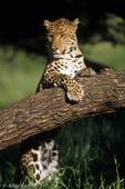 African Leopard (Panthera pardus pardus) Sub-Saharan Africa.  Threatened Species (USESA).  Near Threatened (IUCN).  CITES I.
