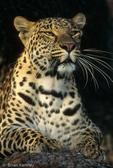 Asian Leopard (Panthera pardus)   Endangered Species (USESA).  Near Threatened (IUCN).  CITES I.