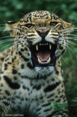 Asian Leopard (Panthera pardus) Snarling.  Endangered Species (USESA).  Near Threatened (IUCN).  CITES I.