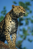 Asian Leopard (Panthera pardus)   Endangered Species (USESA).  Near Threatened (IUCN).  CITES I.