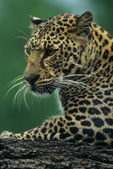 Asian Leopard (Panthera pardus)  with wet fur, Asia. Endangered Species (USESA).  Near Threatened (IUCN).  CITES I.