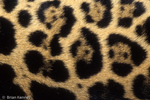 Patterns in Nature /  Detail of Jaguar Fur showing distinctive pattern of small spots inside polygonal rosettes (Panthera onca) United States (AZ), Mexico, Central America, & South America.  Endangered (USESA), Near Threatened (IUCN), CITES I.
