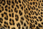 Patterns in Nature / Detail of Asian Leopard Fur showing distinctive pattern of rounded, small rosettes (Panthera pardus)   Endangered Species (USESA).  Near Threatened (IUCN).  CITES I.