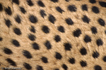 Patterns in Nature / Detail of Cheetah Fur showing distinctive pattern of simple spots, evenly spread (Acinonyx jubatus) Africa & India.  Endangered (USESA), Vulnerable (IUCN), CITES I.