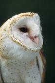 Barn Owl / Common Barn Owl (Tyto alba pratincola) Florida.  Most widely distributed owl, and one of the most widely distributed birds worldwide.  Subspecies range = North America (s Canada through c Mexico), Bermuda, Bahamas, Hispaniola, & Hawaii (introduced).