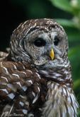 Barred Owl / Hoot Owl (Strix varia) Florida.  Species range = Canada, eastern United States, & Central America.