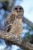 Barred Owl / Hoot Owl (Strix varia) Chick, Florida.  Species range = Canada, eastern United States, & Central America.