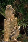 Common Great Horned Owl (Bubo v. virginianus) Chicks, Florida.  Species breeds throughout the Americas.