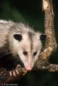 Virginia Opossum (Didelphis virginiana) Florida