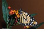 Monarch Butterfly (Danaus plexippus) on Scarlet Milkweed (Asclepias curassavica) Florida