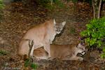 Florida Panther / Cougar / Mountain Lion / Puma (Puma concolor coryi / formerly: Felis concolor coryi) mating (copulation), Florida.  Endangered (USESA), CITES I.