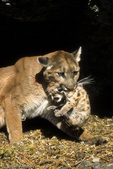 Cougar / Mountain Lion / Panther / Puma (Puma concolor / formerly: Felis concolor) mother carrying kitten by the scruff of its neck, Montana.