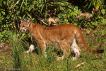 Florida Panther / Cougar / Mountain Lion / Puma (Puma concolor coryi / formerly: Felis concolor coryi) juvenile panthers lose their camouflaging spots as they mature, Florida.  Endangered (USESA), CITES I.