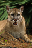 Florida Panther / Cougar / Mountain Lion / Puma (Puma concolor coryi / formerly: Felis concolor coryi) Florida.  Endangered (USESA), CITES I.