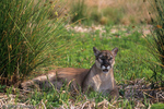 Florida Panther / Cougar / Mountain Lion / Puma (Puma concolor coryi / formerly: Felis concolor coryi) lying in the shade of rushes, Florida.  Endangered (USESA), CITES I.