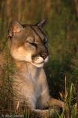 Florida Panther / Cougar / Mountain Lion / Puma (Puma concolor coryi / formerly: Felis concolor coryi) dozing in the sun, Florida.  Endangered (USESA), CITES I.