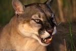 Florida Panther / Cougar / Mountain Lion / Puma (Puma concolor coryi / formerly: Felis concolor coryi) snarling, Florida.  Endangered (USESA), CITES I.