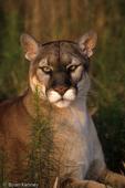 Florida Panther / Cougar / Mountain Lion / Puma (Puma concolor coryi / formerly: Felis concolor coryi) Florida.  Endangered (USESA), CITES I.