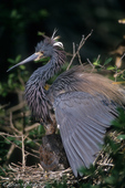 Tricolored Heron / Louisiana Heron (Egretta tricolor) in breeding plumage, spreading its wings to create shade to keep its chicks cool in the nest, Florida.  Resident breeder from the Gulf states in the United States through Central America & the Caribbean to Brazil & Peru (South America).
