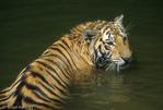Bengal Tiger (Panthera tigris tigris) young cat cooling off in water, India.  Endangered Species (USESA & IUCN).  CITES I.