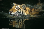 Bengal Tiger (Panthera tigris tigris) Swimming with Reflection, India.  Endangered Species (USESA & IUCN).  CITES I.
