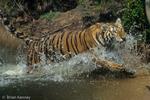 Bengal Tiger (Panthera tigris tigris) Running through Water, India.  Endangered Species (USESA & IUCN).  CITES I.