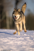 Gray Wolf / Timber Wolf (Canis lupus) running in snow, Minnesota.  Threatened (USESA).  CITES II.