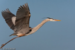 Great Blue Heron (Ardea h. herodias) in Flight, southwest Florida.  Subspecies range = southern Florida and the Caribbean Islands.  Species range = Canada to South America.