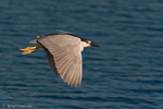 Black-crowned Night Heron (Nycticorax nycticorax hoactli) in full Breeding Plumage, in flapping Flight, southwest Florida.  This subspecies breeds from Canada south to Patagonia (South America).