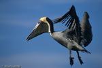 Brown Pelican / Eastern Brown Pelican (Pelecanus occidentalis carolinensis) in breeding plumage, in flight, landing, Florida.  State Bird of Louisiana.  Protected by Migratory Bird Treaty Act of 1918.