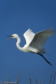 Great Egret / Common Egret (Ardea alba egretta / Syn: Egretta alba egretta; Casmerodius albus egretta) in Flight, southwest Florida.  Subspecies range = North America.